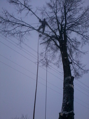 Спилить аварийное,  старое,  ненужное дерево безопасно без автовышки.