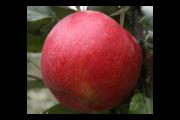Беларуские яблоки оптом