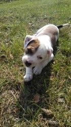 Американский Стаффордширский Терьер щенок
